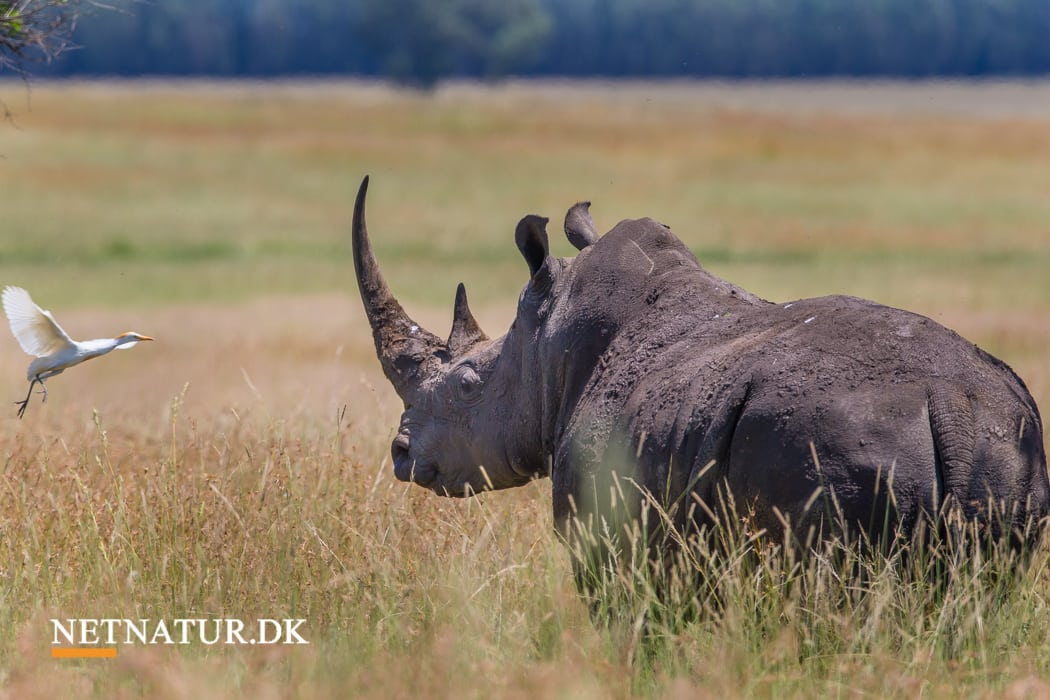 Sydafrika mister næsten tre næsehorn om dagen til krybskytter