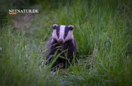 Kort video: Lys over grævlingen
