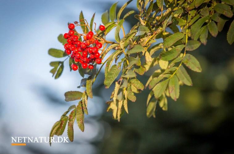 Kend dine vildtplanter: Almindelig røn