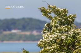 Kend dine vildtplanter: Hvidtjørn