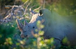 Handel med næsehorns horn er igen lovligt i Sydafrika