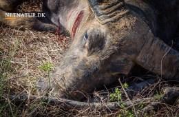 Australien: Bøffel med bue