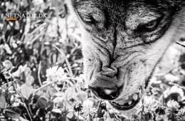 Angreb ulv svensk jæger?