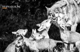 Modstand mod undersøgelse af ulve og hybrider