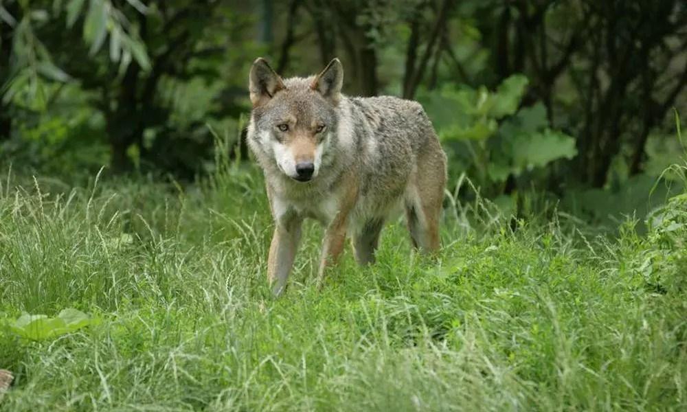 Informationsmøde om ulvesikre hegn