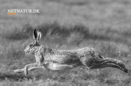 Hare spiller med færdighederne