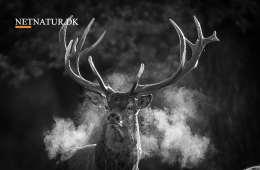 Kommentar og ulve og hjorte og ræverøde dræbersnegle