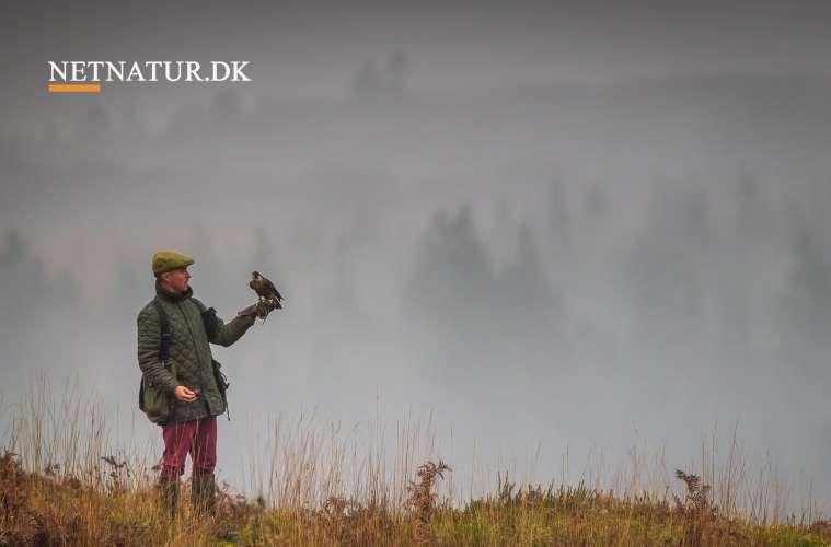 Falkejagten får comeback i Danmark