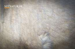 Hvid elg skal DNA undersøges