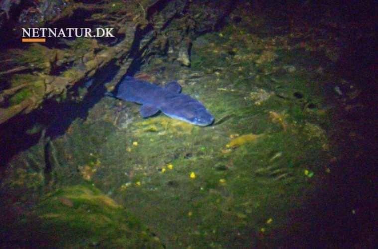 EU: Total stop for ålefiskeri i Østersøen