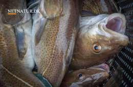 Karen Ellemann minister for fiskeriet
