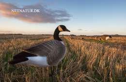 Invasive arter nedlægges oftere