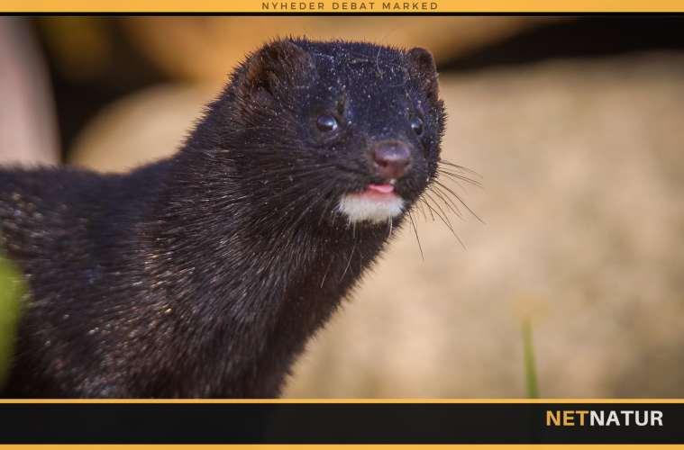 Den amerikanske mink - et effektivt rovdyr