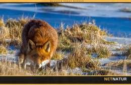 Information om ræve og skab