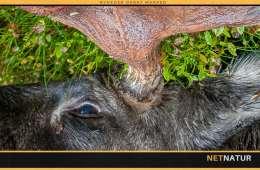 Moose i størrelse gigant