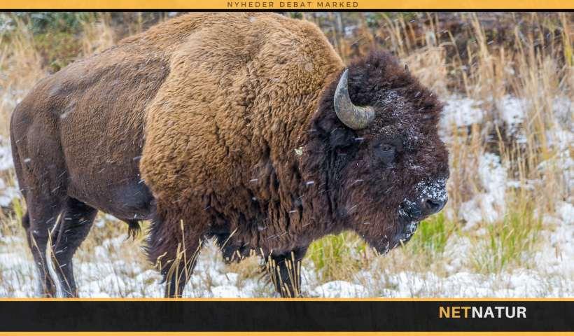 Bison ofrer kalv til ulvene