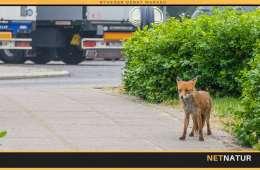 Viden om: Påkørsel af vildt