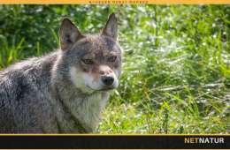 Ulvepolitik og partifarve