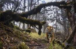 Beskyttelse af vilde tigre har mange sidegevinster