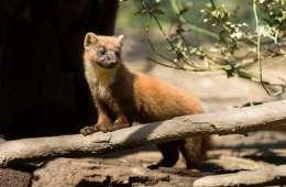 Skovmåren - det skjulte dyr i skoven