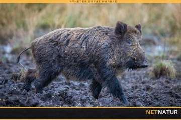 Afrikansk svinepest og COVID-19
