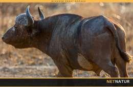 Ung jæger dræbt af bøffel