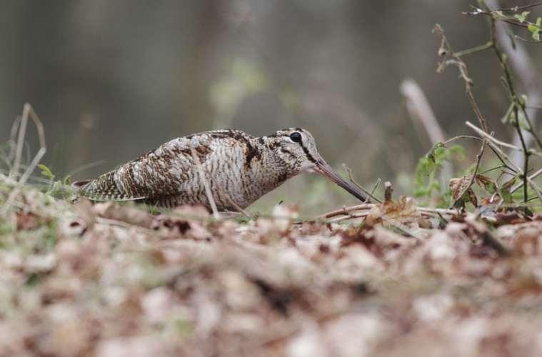 Skovsneppen - en troldfugl med slingrekurs
