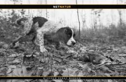 Naturen netop nu: Med hunden på sneppejagt