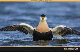 Ederfuglen - Danmarks største dykand