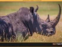 Stadig færre næsehorn dræbes af krybskytter i Sydafrika