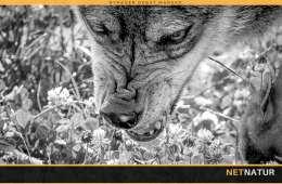 Frygtløs kvinde møde frygtløs ulv i Skagen By