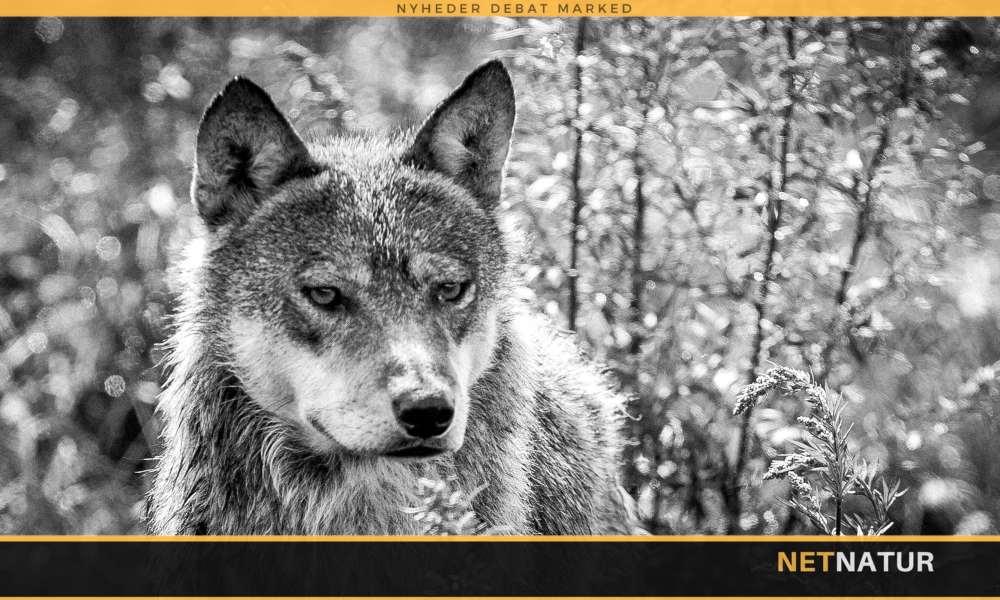 Tysk have-ulv er nu aflivet
