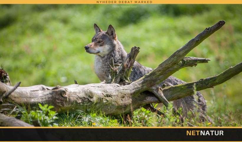 Forskning sætter pris på ulv