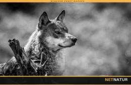 Søren Espersen holder liv i teorien om udsatte ulve