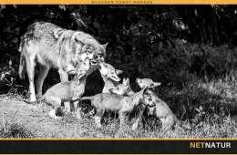 Har Danmark mere end et par ynglende ulve?