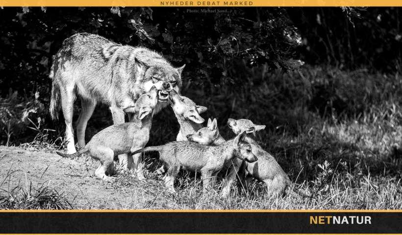 Ulven – tilbage som top-rovdyr i dansk fauna