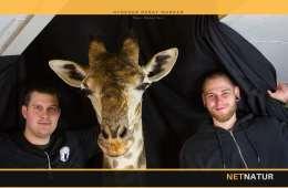 Giraf førte til hul i loftet