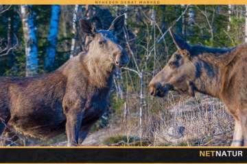6,5'eren er ikke altid legal til kronvildt og elg!