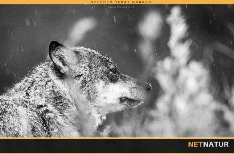 Jæger frifundet for at skyde ulv