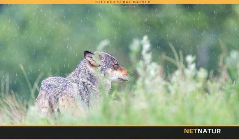 DNA-prøve har påvist ulv ved dræbt får