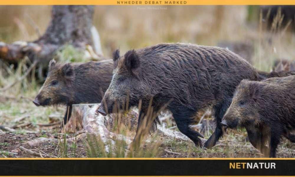 Kan vildsvinehegn bremse dansk import af smittet svinekød?