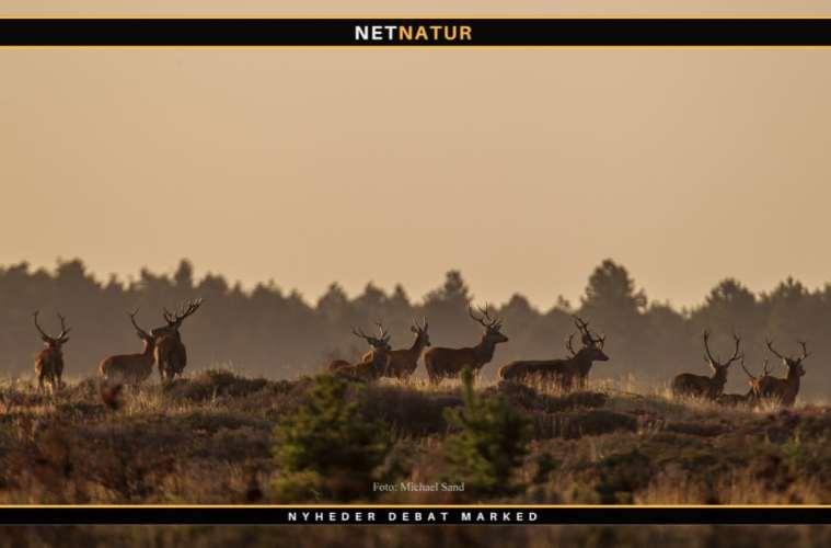 Jagt udlejes i Nørager skov