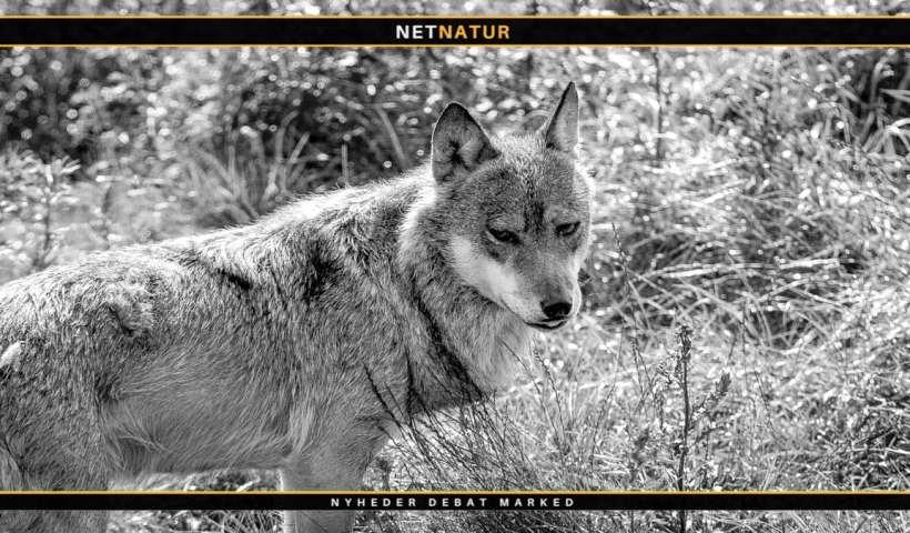 Danmark kan være et af de farligste steder for ulve, hævder Dansk Pattedyrforening