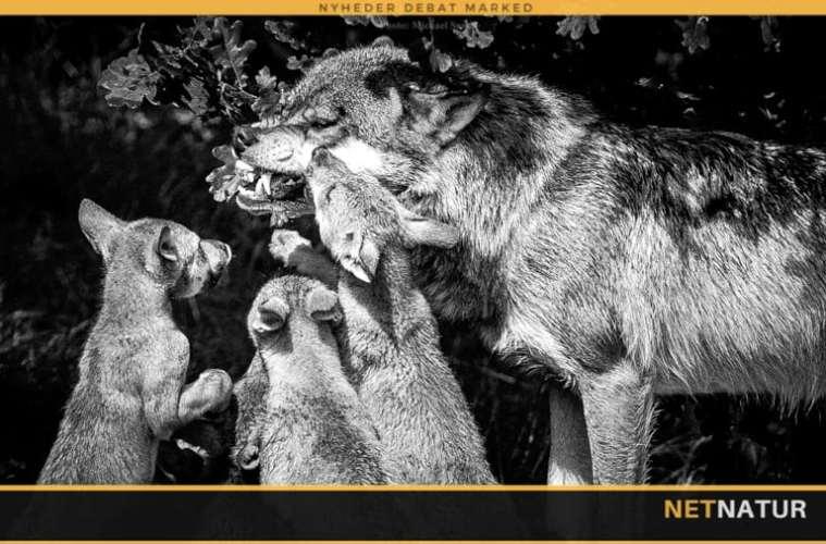 Skal ulvehybrider tolereres eller udryddes?