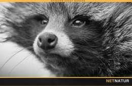 Skyd ikke GPS-mårhunde under bukkejagten