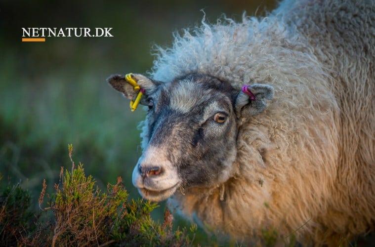 DNA bekræfter, at ulv stod bag nedlæggelse af lam