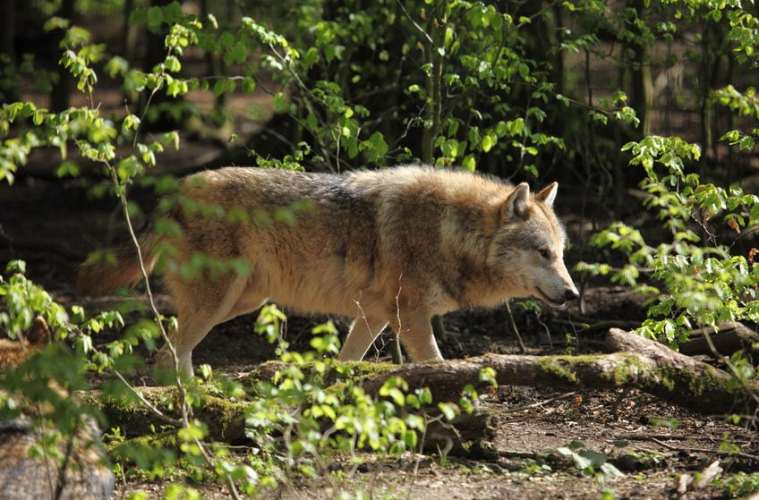 Den ulovligt nedlagte ulv var danskfødt