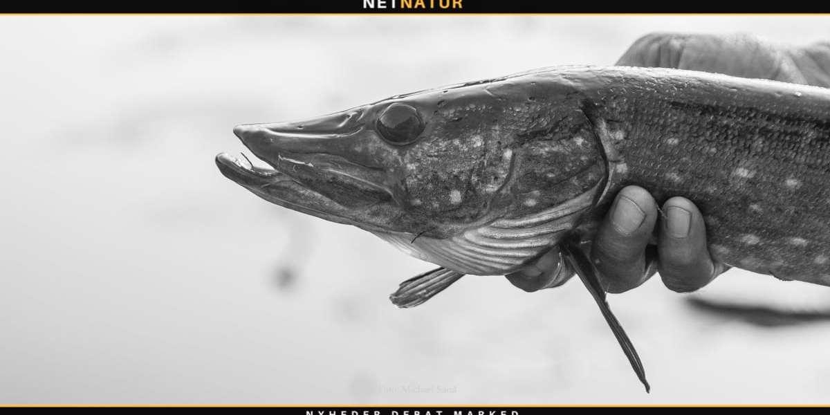 Gedden: Biologi og forvaltning i ny bog