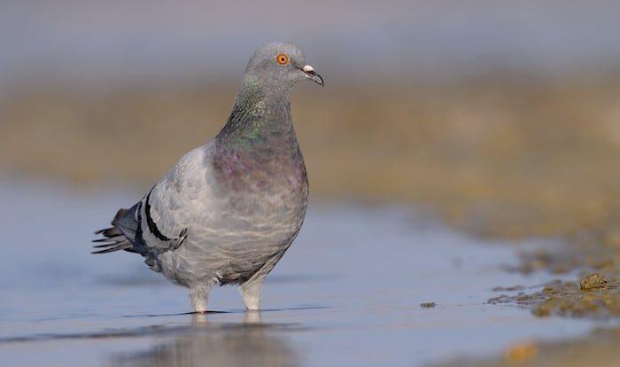 Klippeduen - fuglen alle kender på udseendet