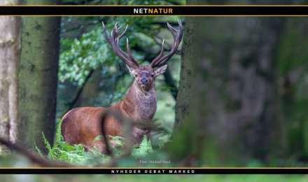 Kronvildt og lokale jagttider